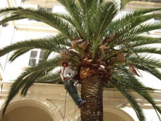Taille et elagage de palmier - Alpes Maritimes - jardiniers paysagiste Exo jardins