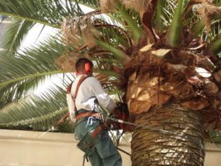Travaux en hauteur d'élagage sur palmier au Cannet (06)