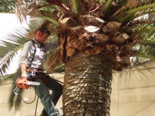 Elagage de palmier au Cannet (06)