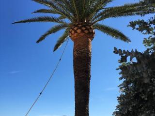 Elagage de palmier toutes hauteurs Exo Jardins