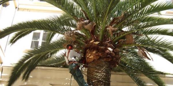 Taille de palmier