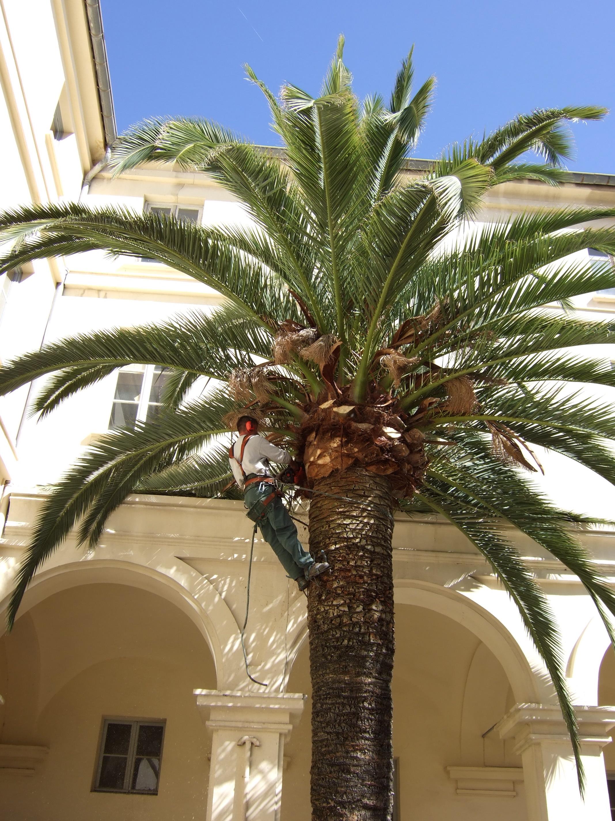 Taille de palmier entretien jardin espaces verts cannes for Entretien jardin 49