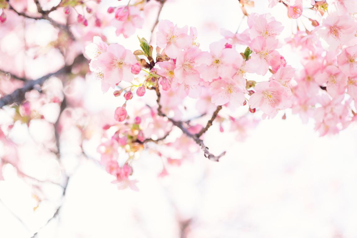 Cerisier japonais - jardin zen - Exo Jardins