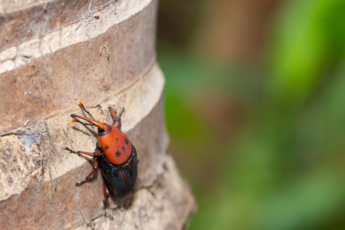 Lutte contre le charancon rouge - palmier infecte - taille de palmier Côte d'Azur - Exo Jardins