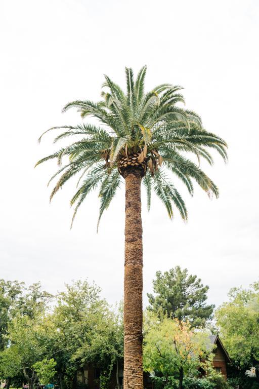 Palm tree pruning - Nice - Cannes - Fréjus - Antibes - Exo Jardins